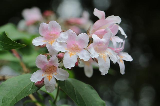 La plante abelia kaléidoscope en fleurs